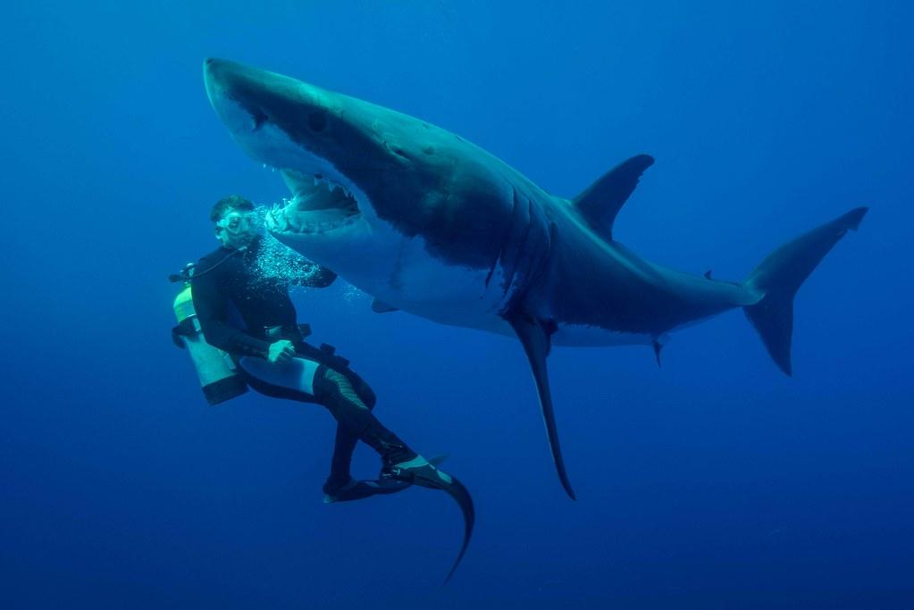 Le requin 'écarte suite à la poussée latérale du plongeur - Photo Jean-marie Ghislain